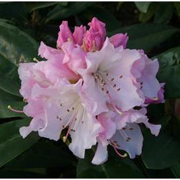 RHODODENDRON COMPACT HYBRID CHRISTMAS CHEER 7.5L