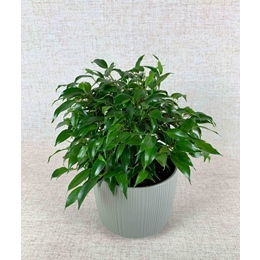 Ficus Benjamina Kinky Green in 13cm pot