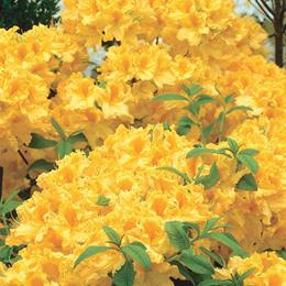 DECIDUOUS AZALEA GOLDEN LIGHTS 5.0L