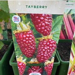 TAYBERRY in 3l pot