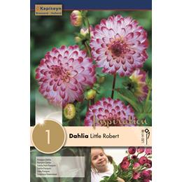 DAHLIA LITTLE ROBERT