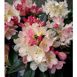 RHODODENDRON YAK PERCY WISEMAN 3.0L