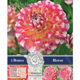 DAHLIA DECORATIVE HAWAII