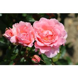 English Miss Rose 3 Litre