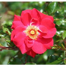 OLYMPIC FLAME ROSE red 4L