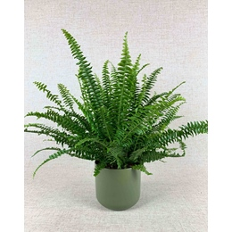 Nephrolepis ex. Green Lady 13cm pot