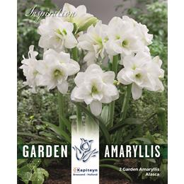 AMARYLLIS ALASCA - GARDEN AMARYLLIS FOR GARDENS AND PATIOS