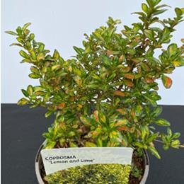 Coprosma lemon and lime 3L