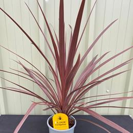 Cordyline Red Star 17cm