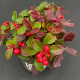 Gaultheria Procumbens 10.5cm pot