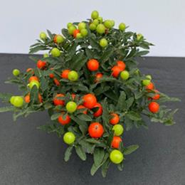 Solanum Pseudocapsicum Winter Cherry in 13cm pot
