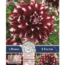DAHLIA DECORATIVE X FACTOR