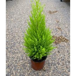 Cupressus Macrocarpa Wilma in 13cm pot