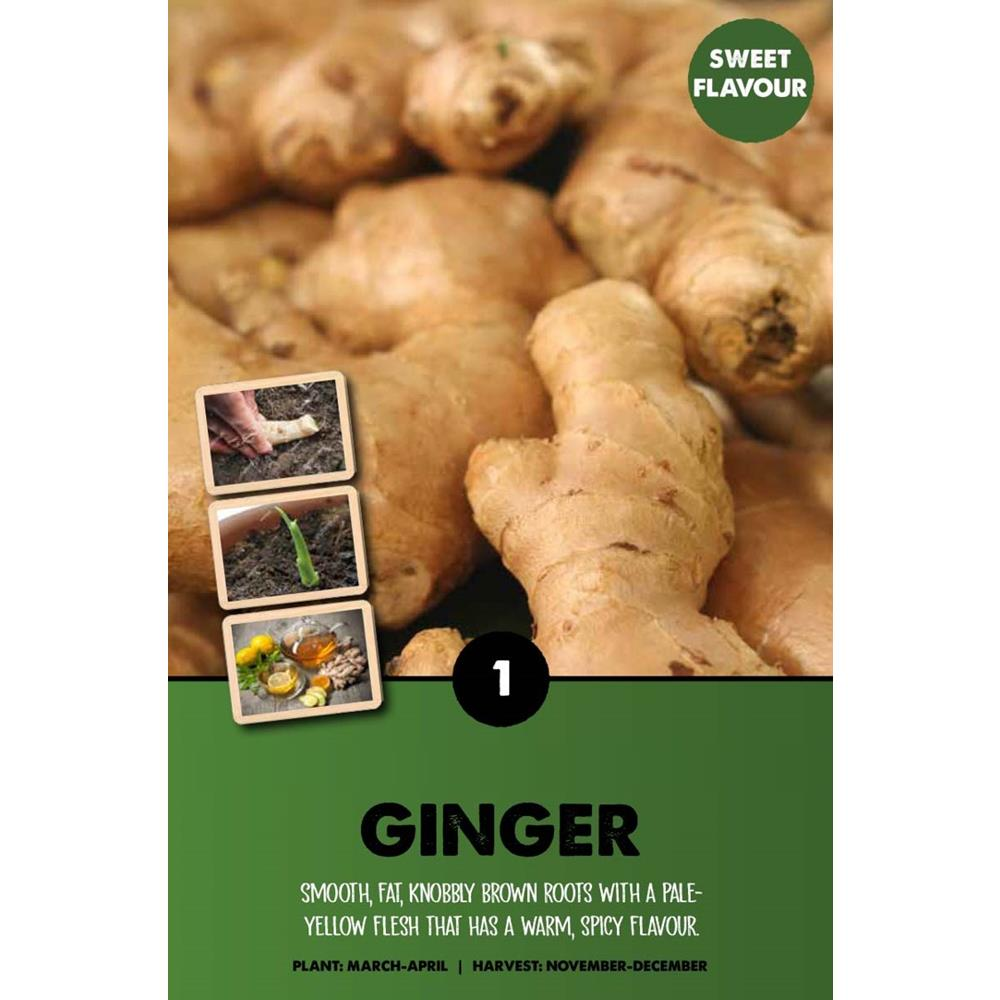 ZINGIBER OFFICINALE GINGER I X1