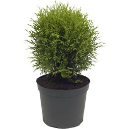 Thuja occidentalis Hetz Midget 3 litre