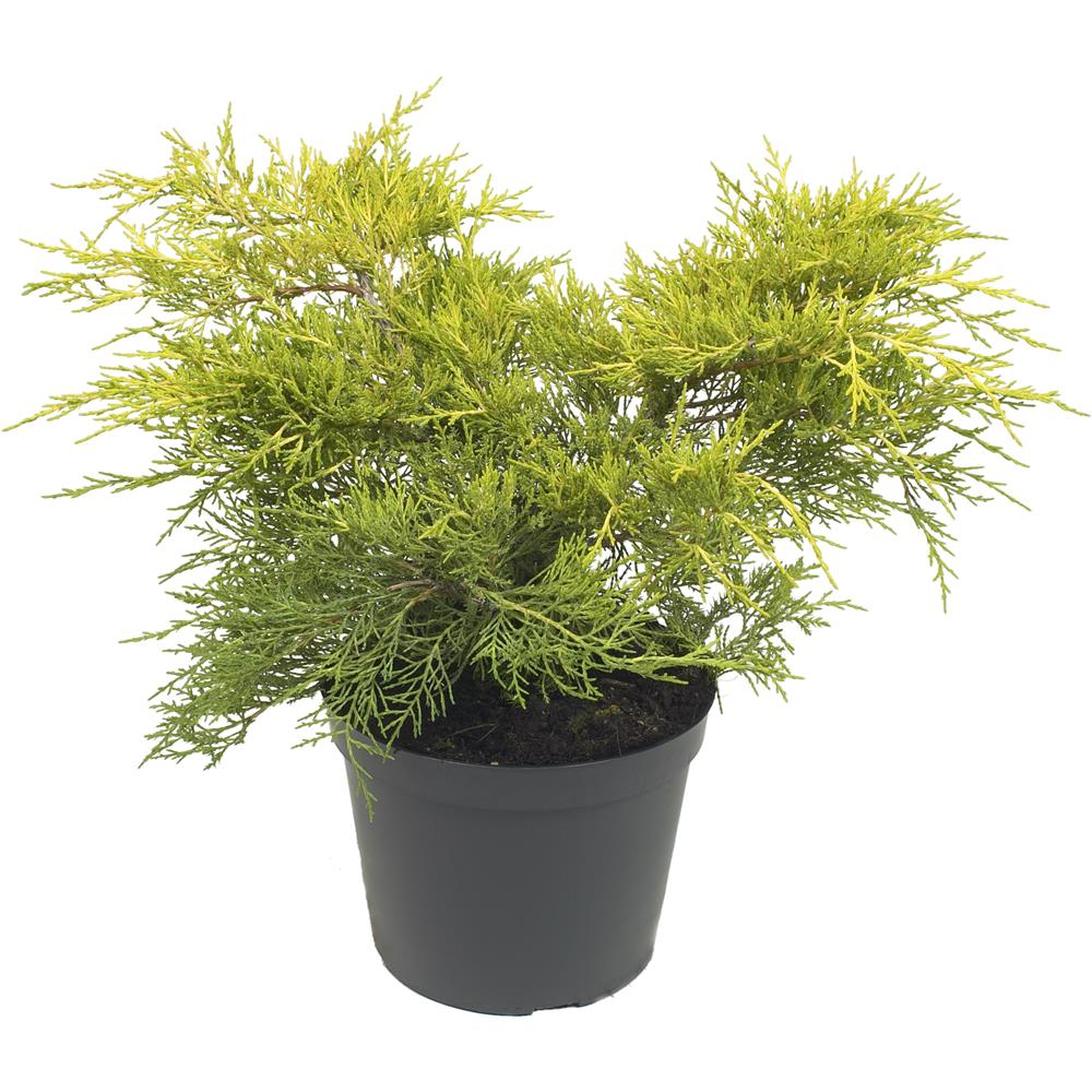 Juniperus x media Old Gold 3 litre