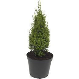 Chamaecyparis thyoides Top Point 3 litre