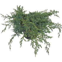 Juniperus squamata Blue Carpet 3 litre