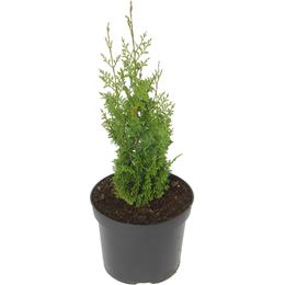 Thuja occidentalis Brobecks Tower 3 litre