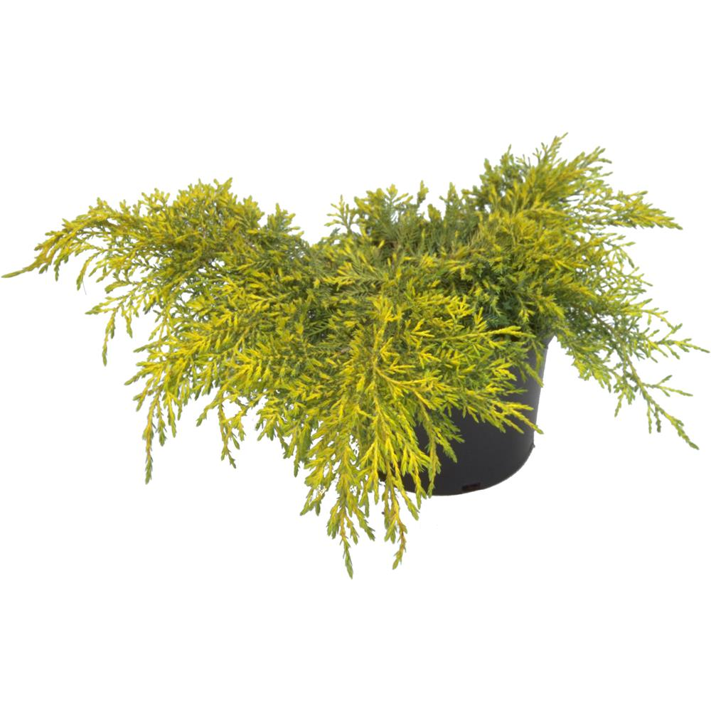 Juniperus x media Carbury Gold 3 litre
