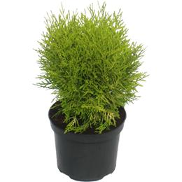 Thuja occidentalis Danica Aurea 3 litre
