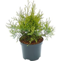 Thuja occidentalis Golden Brabant 3 litre