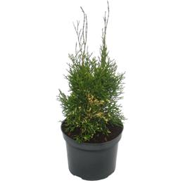 Thuja occidentalis Konfetti 3 litre