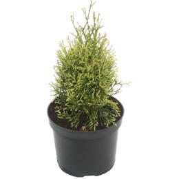 Thuja occidentalis White Smaragd 3 litre