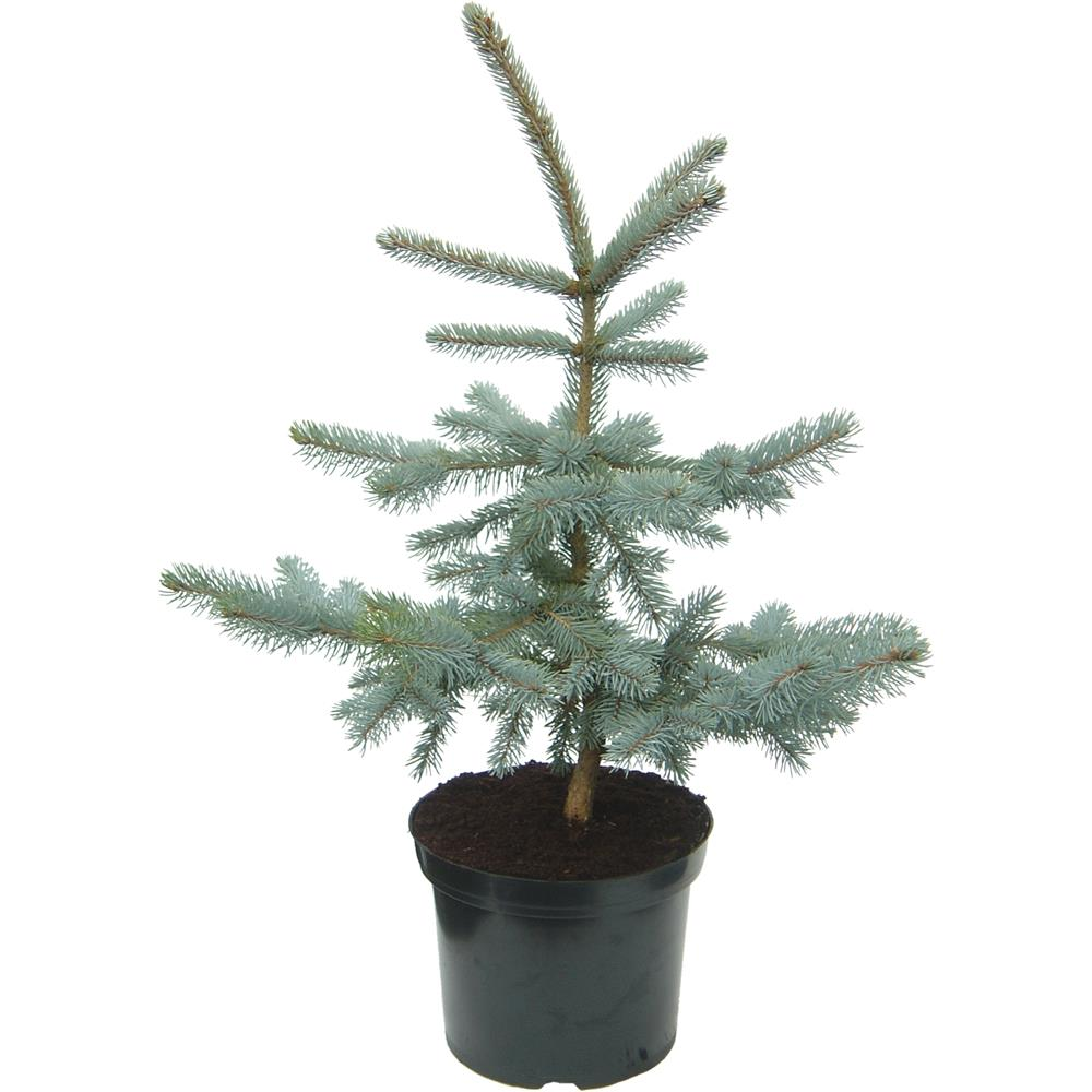 Picea pungens Hoopsii 7 litre