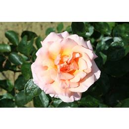 Compassion Climbing Rose 4L