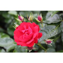 ETERNITY Royalty Bush Rose bright red 3L