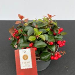 Gaultheria Procumbens 17cm pot