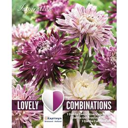 COMBI DAHLIA DECORATIVE VIOLET AND WHITE SHADES