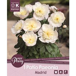 PAEONIA PATIO MADRID