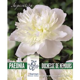 PAEONIA DUCHESSE DE NEMOURS - HIGHLY FRAGRANT - CLASSIC VARIETY FROM 1856