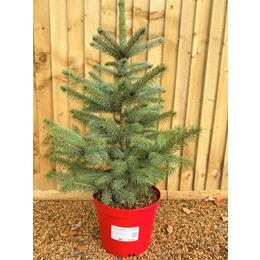 Blue Spruce Premium Pot Grown 60/80cm