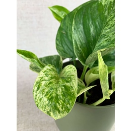 Epipremnum Marble Queen in 12cm pot