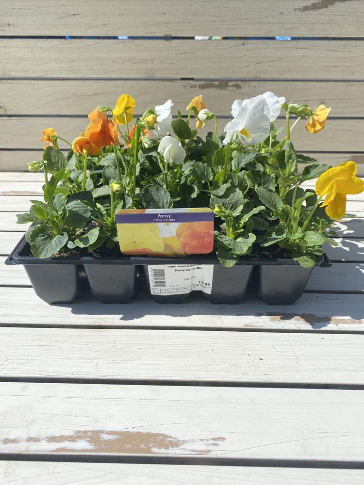Pansy Citrus Mix 20 pack