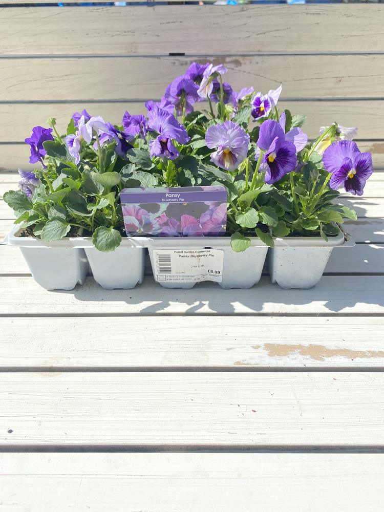 Pansy Blueberry Pie 20 pack