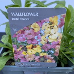 Wallflower Pastel Shades