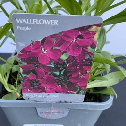 Wallflower Purple