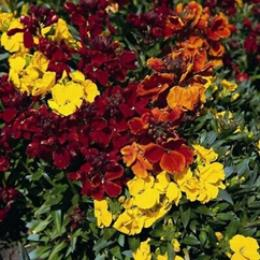 Wallflower Tom Thumb 2l pot