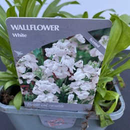 Wallflower White