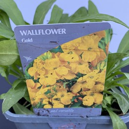 Wallflower Yellow/Gold