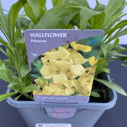 Wallflower Primrose