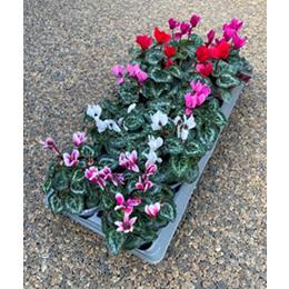 CYCLAMEN 10.5CM ASSORTMENT OF 10