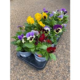 PANSY IN A 1L POT ASSORTMENT OF10