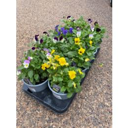 VIOLAS IN A 1L POT ASSORTMENT OF 10