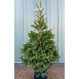 Norway Spruce Premium Pot Grown 125/150