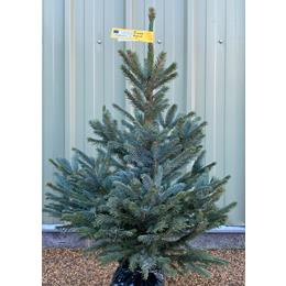 Blue Spruce Premium Pot Grown 80/100